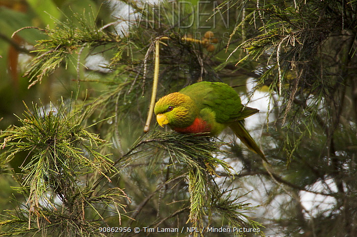 Yellow billed lorikeet (Neopsittacus musschenbroekii) in tree, Tari Valley vicinity, Southern Highlands Province, Papua New Guinea