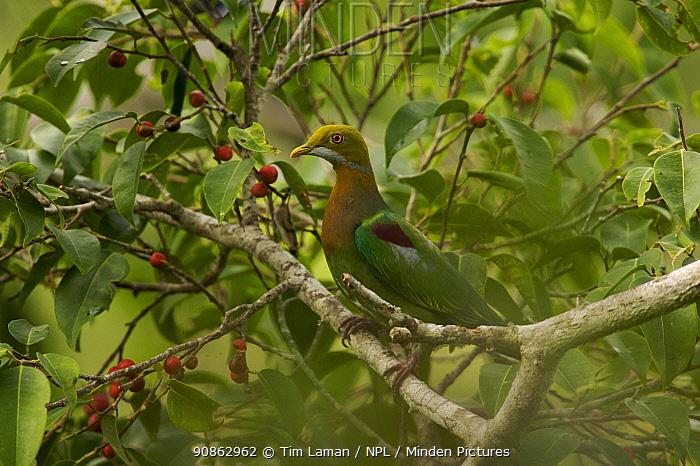 Ornate fruit dove (Ptilinopus ornatus) in a fruiting fig tree (Ficus sp) Huon Peninsula, Marobe Province, Papua New Guinea