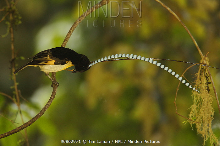 Adult male King of Saxony Bird of Paradise {Pteridophora alberti} on the vine he uses for displaying to females, Papua New Guinea