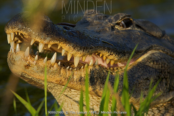 American Alligator (Alligator mississippiensis) close up of mouth and teeth, Everglades National Park, Anhinga Trail Vicinity, Florida, USA.