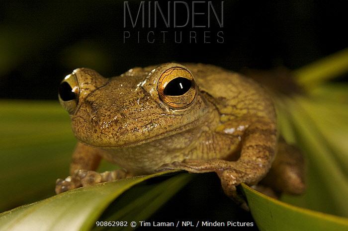 Pinewoods Treefrog (Hyla femoralis) on leaf of Saw Palmetto, Everglades National Park, Long Pine Key, Florida, USA.