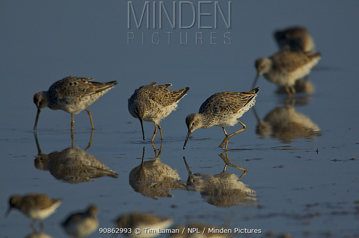 Dunlin Sandpiper (Calidris alpina) flock foraging in water, Eco Pond, Everglades National Park, Florida, USA.
