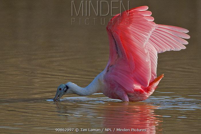 Roseate Spoonbill (Platalea ajaja) fishing, Eco Pond, Everglades National Park, Florida, USA.