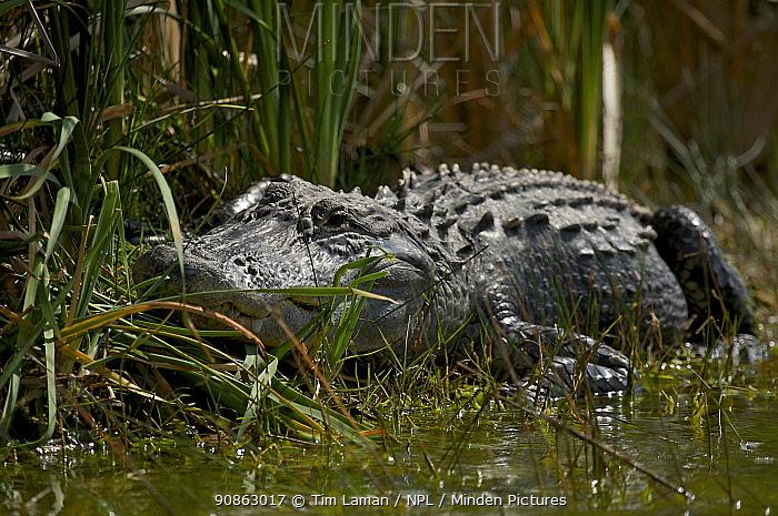 American Alligator (Alligator mississippiensis) sunning on the bank at Nine Mile Pond, Everglades National Park, Florida, USA.