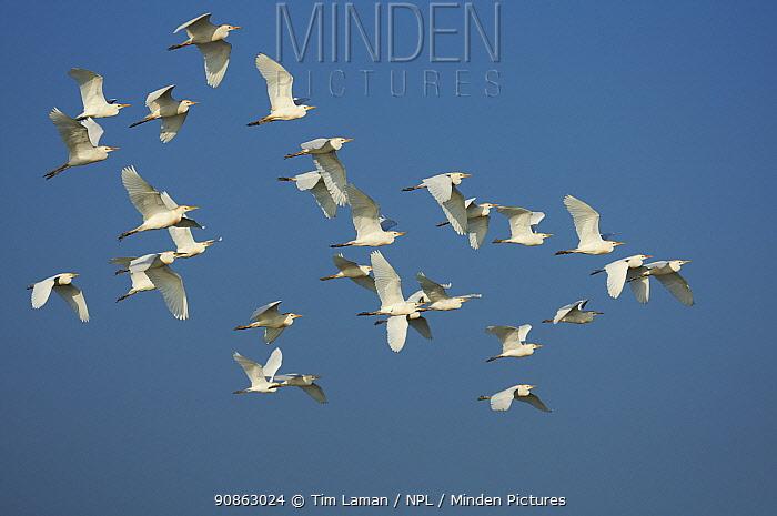 Flock of Cattle Egret {Bubulcus ibis} in flight, Florida Bay, Everglades National Park, Florida, USA.