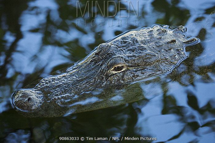 American Alligator (Alligator mississippiensis) at water's surface, Everglades National Park, Florida, USA.