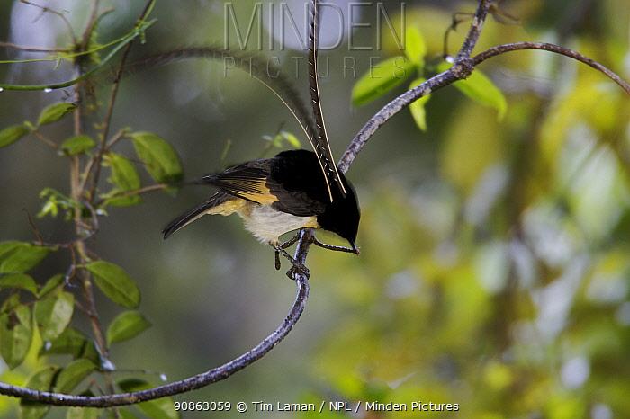 King of Saxony Bird of Paradise (Pteridophora alberti) male displaying on display perch, Enga Province, Papua New Guinea.
