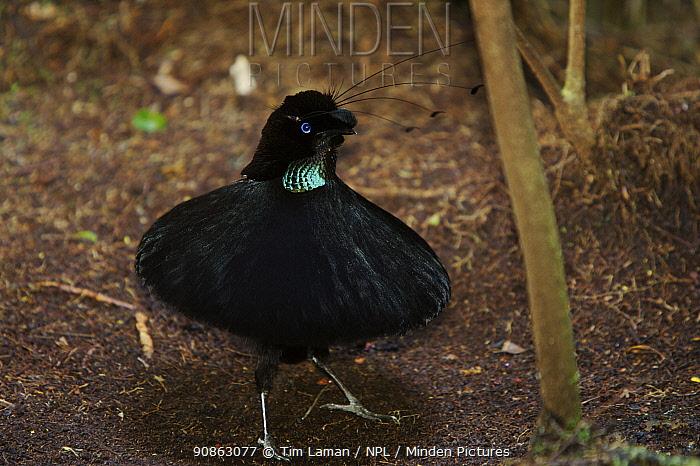 Male Western Parotia (Parotia sefilata) bird of paradise displaying at lek display site, Arfak Mountains, Papua, Indonesia.