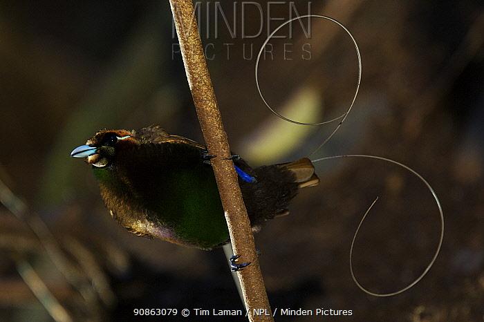 Magnificent Bird of Paradise (Cicinnurus magnificus) male perched, Arfak Mountains, Papua, Indonesia.