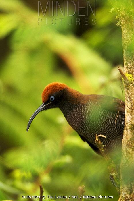 Female Brown Sicklebill (Epimachus meyeri) bird of paradise perched, in the vicinity of Mt. Hagen, Enga Province, Papua New Guinea.
