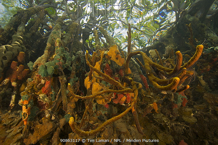 Sponges, tunicates and other invertebrates growing on the roots of Red Mangrove trees {Rhizophora mangle} in the Belize Cays, Tunicate Cove, Belize.