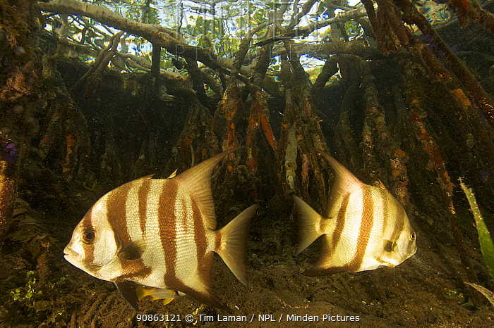 Atlantic spadefish {Chaetodipterus faber} amongst the roots of Red Mangrove trees {Rhizophora mangle} in the Belize Cays, Suna Tunicate Cove, Belize.