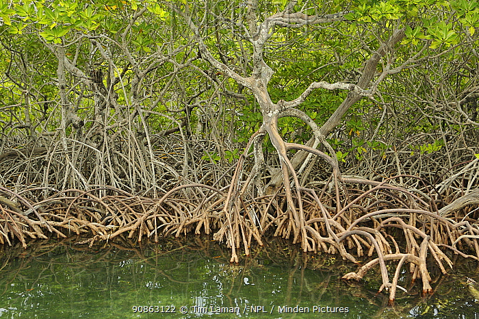 Red Mangrove (Rhizophora mangle) trees with roots exposed, Peter Douglas Cay, Belize.
