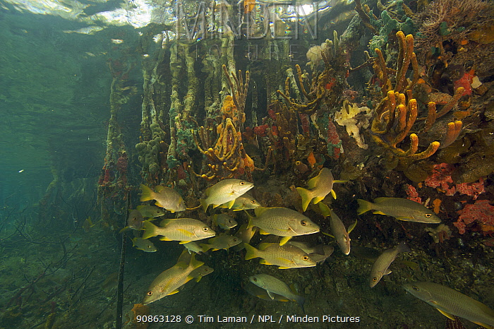 Snappers {Lutjanidae}, sponges, tunicates and other invertebrates amongst the roots of Red Mangrove trees {Rhizophora mangle} in the Belize Cays, Tunicate Cove, Belize.