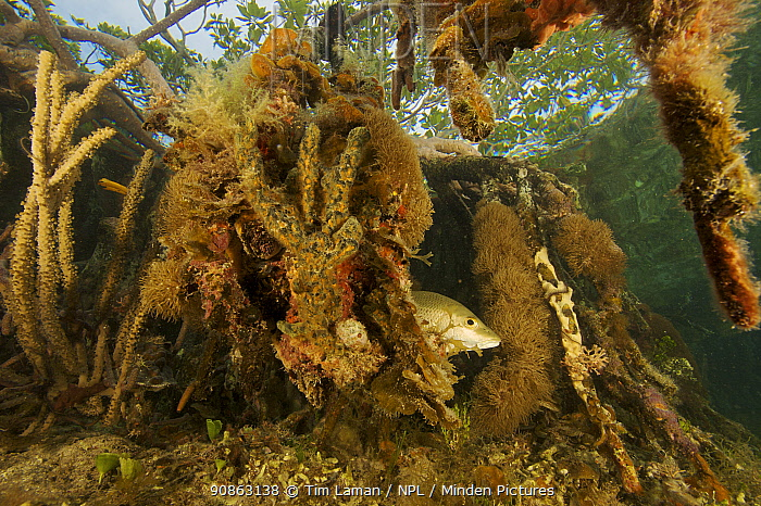 Snapper fish {Lutjanidae} and rich invertebrate life growing underwater on Red mangrove roots {Rhizophora mangle} in the Belize Cays, Tunicate Cove, Belize.