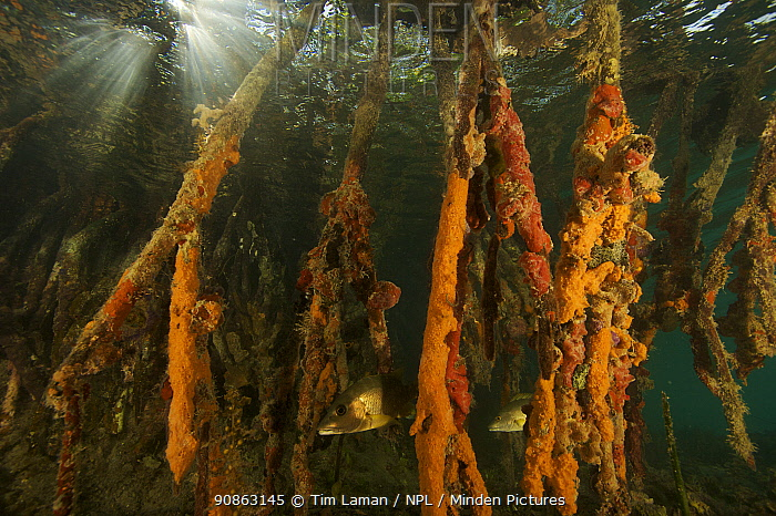 Rich invertebrate life including corals, tunicates and sponges, cover the underwater portions of Red mangrove roots {Rhizophora mangle} on offshore mangrove island, Tunicate Cove, Belize.