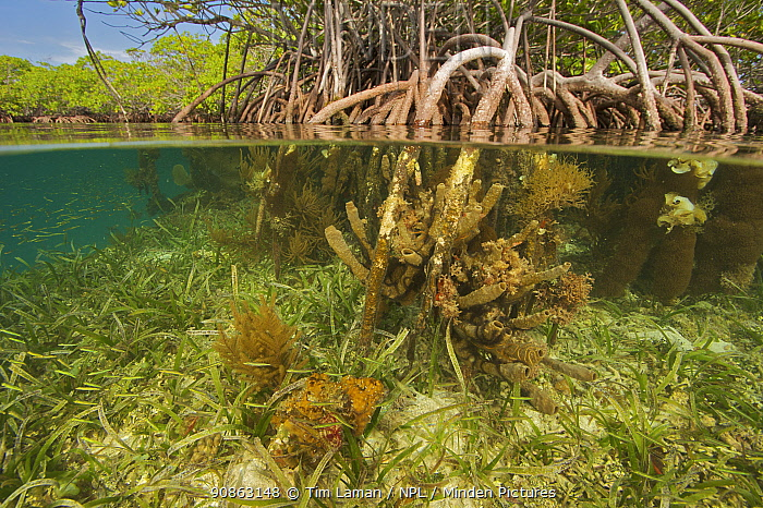Split level of rich invertebrate life including corals, tunicates and sponges cover the underwater portions of Red mangrove roots {Rhizophora mangle} on offshore mangrove island, Tunicate Cove, Belize.