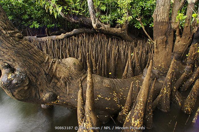 Spike-like breathing roots (pneumatophores) of Sonneratia mangroves {Sonneratia alba} Kostrae Island, Micronesia.