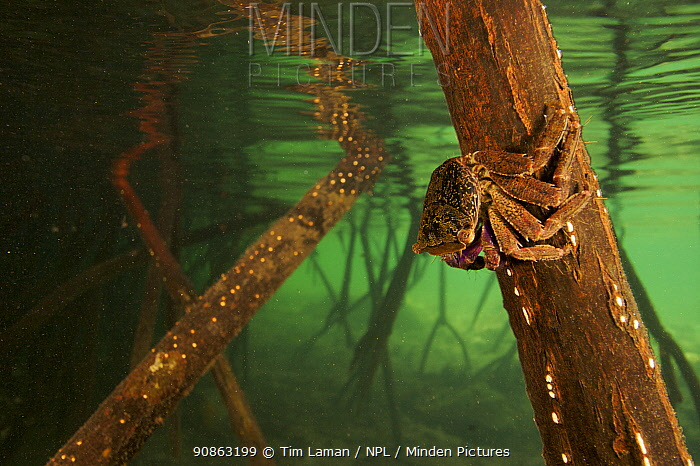 Underwater view of Mangrove crab on Red Mangrove root {Rhizophora mangle} just below the water line. Kostrae Island, Federated States of Micronesia.