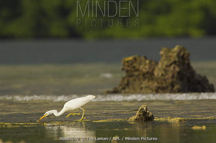 Eastern reef heron / Pacific reef egret hunts on the tidal flats outside the mangroves. Kostrae Island, Federated States of Micronesia.
