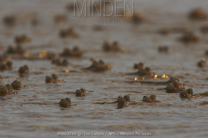Shoal of Four-eyed fish (Anableps sp) in very shallow water on mudflats adjacent to mangroves. Caroni Bird Sanctuary, Trinidad, Trinidad and Tobago.