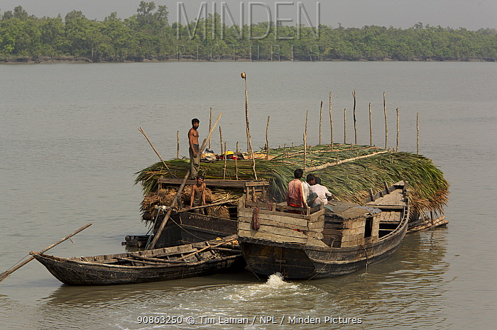 A boat carrying Nipa palm leaves harvested from the mangroves and used for roof thatch is pushed up the Sibsa river by a small launch, Sundarbans, Khulna Province, Bangladesh, March 2006