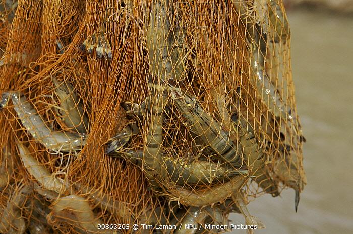 Giant tiger shrimps {Penaeus japonicus} harvested from shrimp farm ponds using a net, Sundarbans, Khulna Province, Bangladesh, March 2006