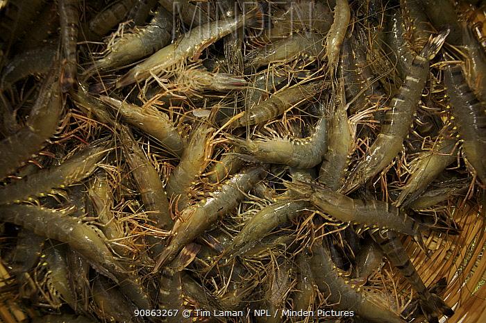 Giant tiger shrimps {Penaeus japonicus} harvested from shrimp farm ponds, Sundarbans, Khulna Province, Bangladesh, March 2006