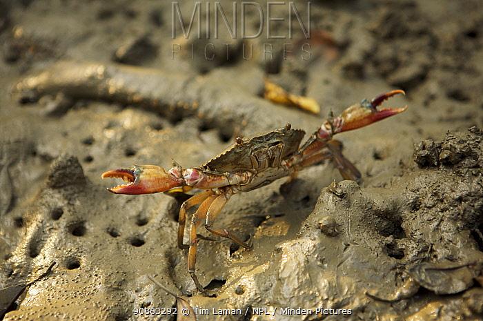 Mangrove crab, Sundarbans, Khulna Province, Bangladesh, April 2006
