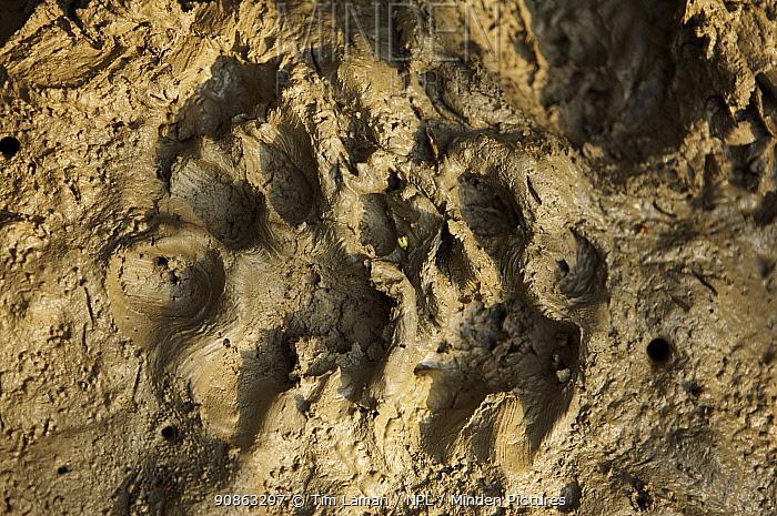 Fresh tiger tracks in the mud amongst mangroves, Sundarbans, Khulna Province, Bangladesh, April 2006