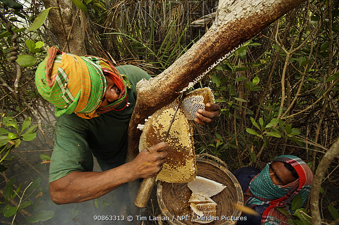 Man collecting honey from honeycomb of the Giant Honeybee (Apis dorsata) using smoke to subdue the bees, a bush knife to cut the comb and a basket to catch the honey and comb, Sundarbans, Khulna Province, Bangladesh, April 2006