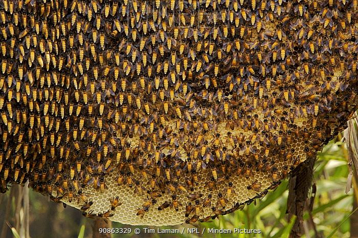 Comb / nest of the Giant honeybee (Apis dorsata) Sundarbans, Khulna Province, Bangladesh, April 2006
