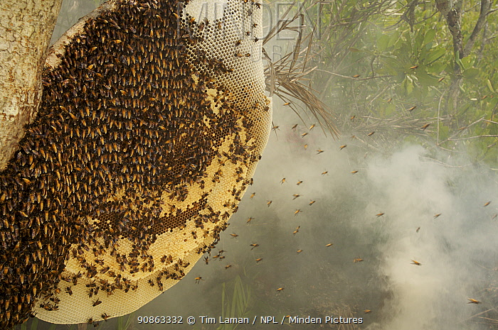 Giant honey bees {Apis dorsata} start to fly from the hive as the smoke from the torches of the honey hunters starts to get them, Sundarbans, Khulna Province, Bangladesh, April 2006