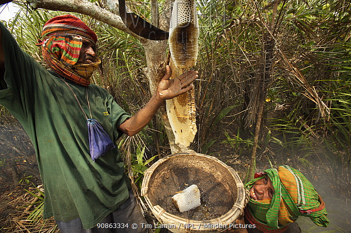 Collecting honey from a honeycomb of the Giant Honey bee (Apis dorsata) using smoke to subdue the bees, a bush knife to cut the comb and a basket to catch the honey and comb, Sundarbans, Khulna Province, Bangladesh, April 2006