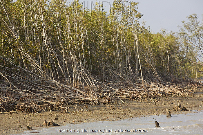 Mangrove forest at the Southern coastal edge of the Sundarbans showing storm damage. Mangrove forests provide a very important coastal buffer.
