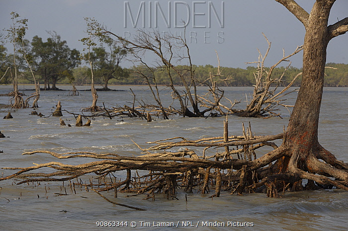 Mangrove forest at the Southern coastal edge of the Sundarbans showing storm damage. Mangrove forests provide a very important coastal buffer. Khulna Province, Bangladesh, April 2006