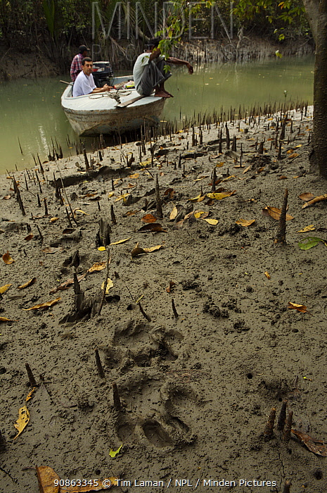 Relatively fresh Tiger tracks in the mud along a small river channel in the mangrove forest, Sundarbans, Khulna Province, Bangladesh, April 2006