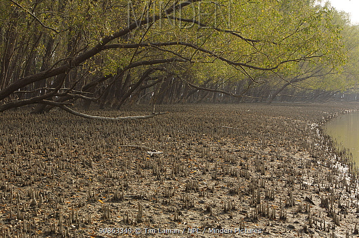 Mangrove forest dominated by Mangrove apple trees (Sonneratia sp) in the Southeast Sundarbans,  this area is heavily grazed by Axis Deer and all low foliage has been removed, Khulna Province, Bangladesh, April 2006