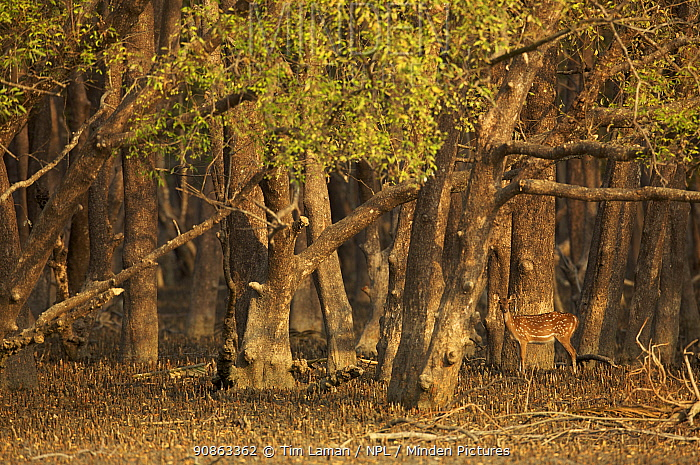 Axis / Chital deer (Cervus / Axis axis) foraging in Sonneratia mangrove forest. The deer are feeding on fallen leaves and fruits and occasionally reaching up to crop leaves. Rhesus monkeys are sometimes feeding above, and deer follow them to eat what they drop. Sundarban Forest, Khulna Province, Bangladesh, April 2006