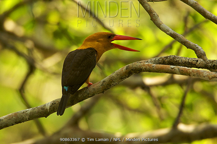 Brown-winged Kingfisher (Halcyon amauroptera) calliing in the mangroves, Sundarban Forest, Khulna Province, Bangladesh.
