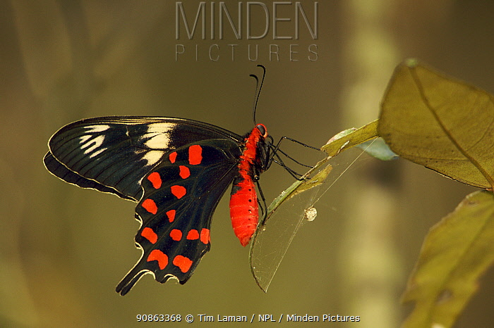 Crimson Rose Swallowtail Butterfly (Atrophaneura hector) resting on leaf of a Heritiera mangrove tree. Sundarban Forest, Khulna Province, Bangladesh.