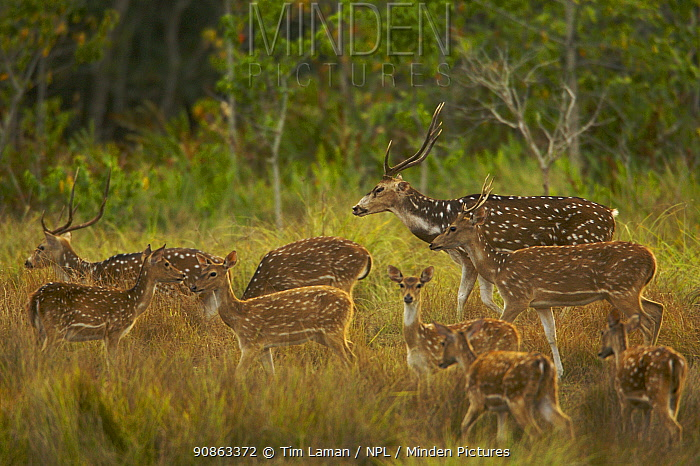Chital / Axis deer (Cervus / Axis axis) in natural grassland on high ground behind mangrove forest, Sundarban Forest, Khulna Province, Bangladesh, April 2006