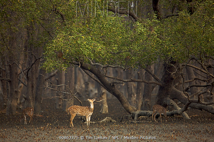 Chital / Axis deer (Cervus / Axis axis) foraging in Sonneratia mangrove forest. The deer are feeding on fallen leaves and fruits and occasionally reaching up to crop leaves. Rhesus monkeys are sometimes feeding above and deer follow them to eat what they drop. Sundarban Forest, Khulna Province, Bangladesh, April 2006
