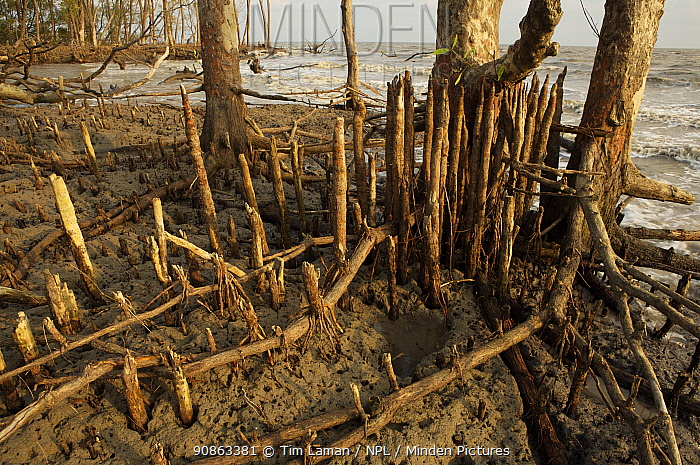 Mangroves at the edge of the Bay of Bengal on the S coast of Bangladesh. These mangroves are battered by the sea, but are important in protecting the coast from storms and erosion. Sundarban Forest, Khulna Province, Bangladesh, April 2006