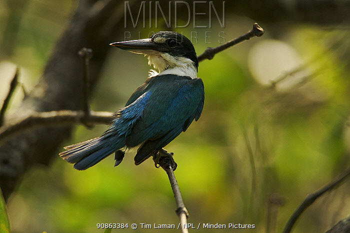 Collared Kingfisher (Todiramphus chloris) perched, preening in the mangroves, Sundarban Forest, Khulna Province, Bangladesh.