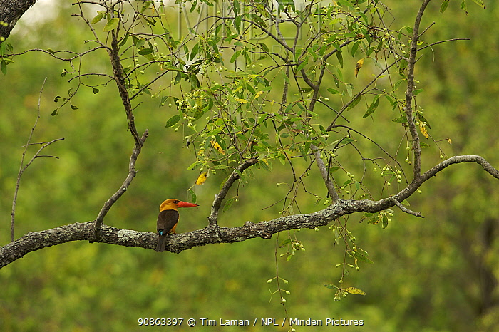 Brown-winged Kingfisher (Pelargopsis amauropterus / Halcyon amauroptera) perched in a tree overhanging a mangrove channel, Sundarban Forest, Khulna Province, Bangladesh.