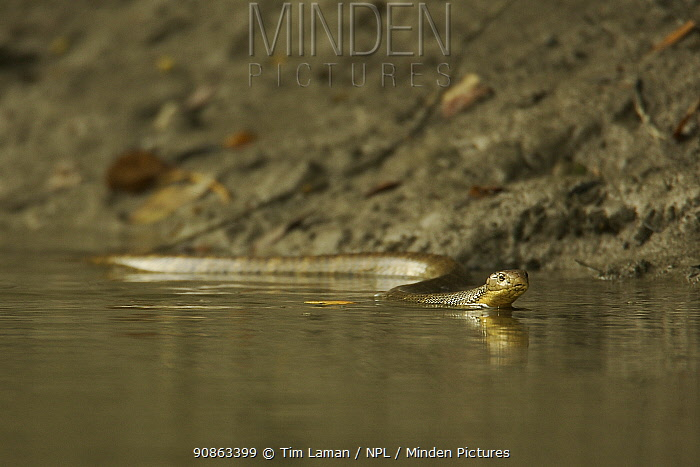 King Cobra (Ophiophagus hannah) swimming, hunting other snakes along the edge of a mangrove river, Sundarban Forest, Khulna Province, Bangladesh.