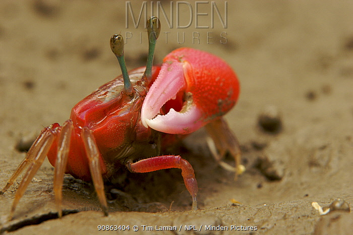 Fiddler crab (Uca sp) emerging from its burrow to forage on the mangrove mudflats at low tide, Sundarban Forest, Khulna Province, Bangladesh.