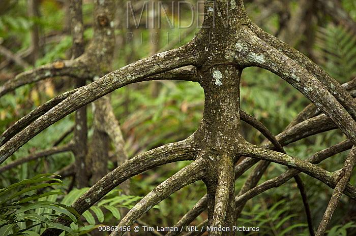 Roots of {Rhizophora apiculata} mangrove trees in a protected area of the Matang mangroves. Taiping vicinity, Perak, Malaysia. May 2006