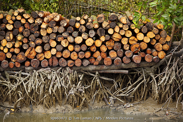 Logs stacked by the river. Logging in the Matang mangrove forest, where (Rhizophora apiculata) trees are grown for 30 years and then harvested for charcoal production. This hundred year old program is considered the best managed production mangrove forest in the world. Taiping vicinity, Perak, Malaysia. May 2006
